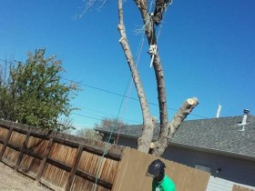 Cottonwood-removal-over-house-fence