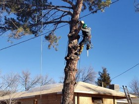Pine-Tree-Removal