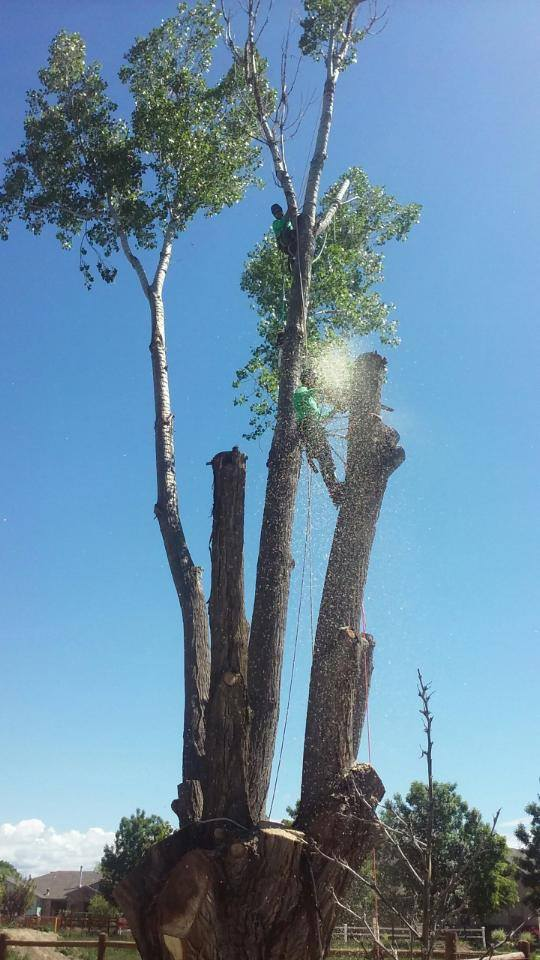 Cottonwood Tree trimming in Grand Junction, Colorado